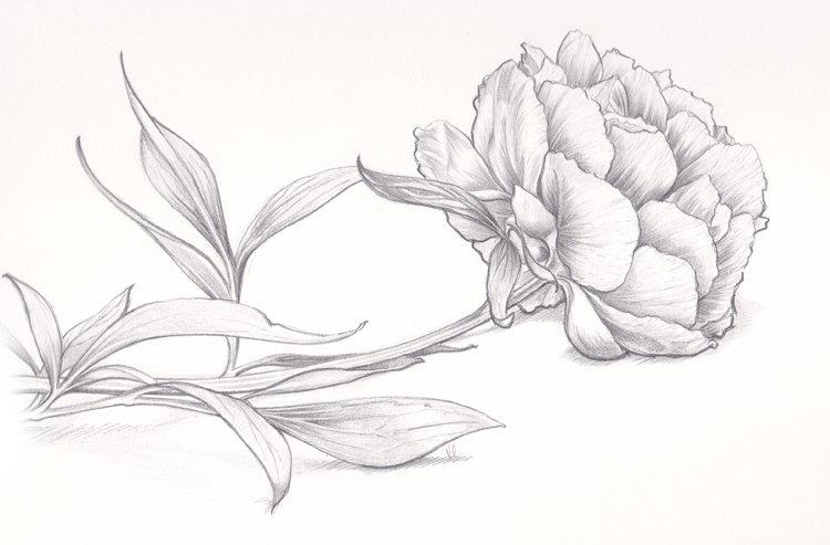 пионы рисунки карандашом простые воспоминаниям