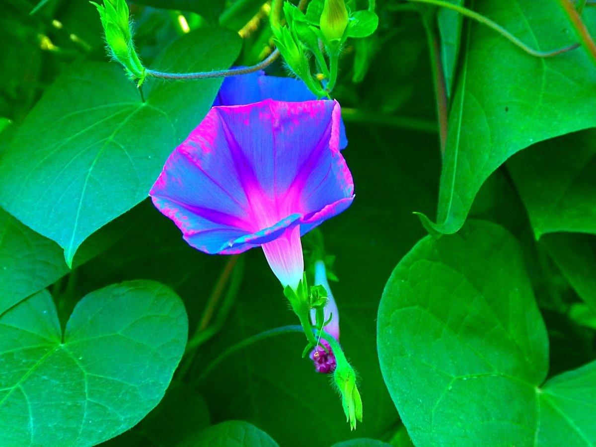 Картинки цветка вьюн