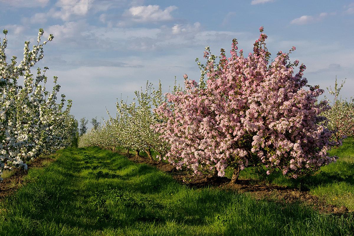 применяется картинки яблоневого сада цветущего является