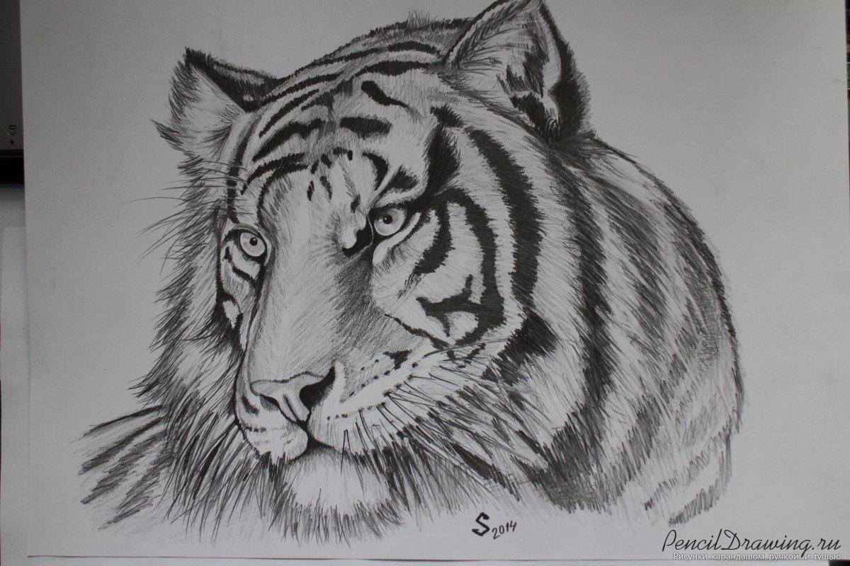 Рисунки с тиграми карандашом