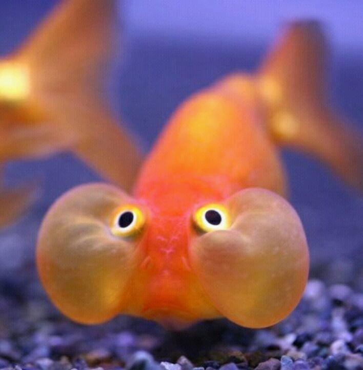 Картинка золотая рыбка прикол