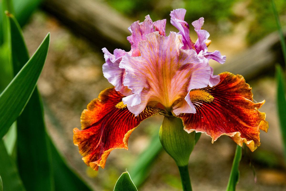 ириски цветы фото из-за