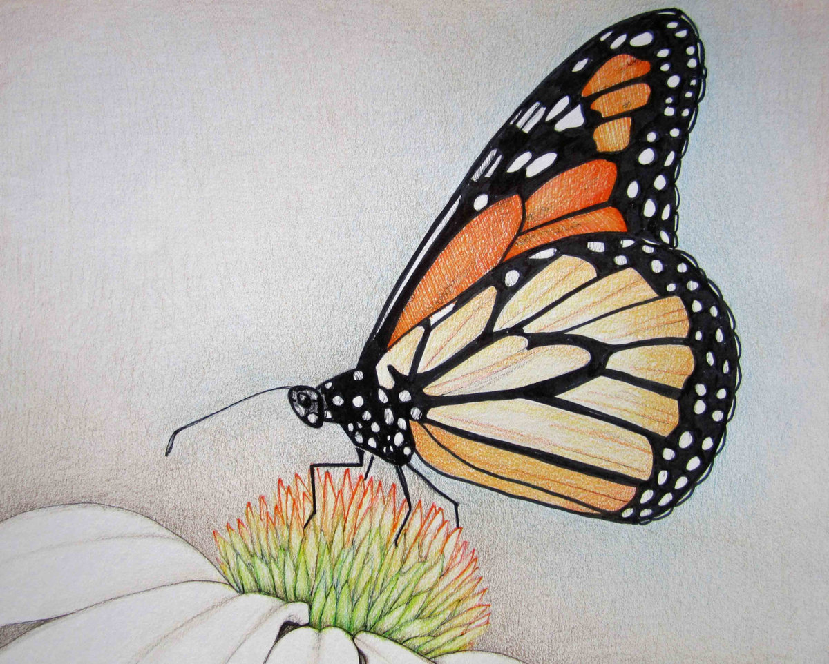 vanessa butterfly drawing images - HD1200×962