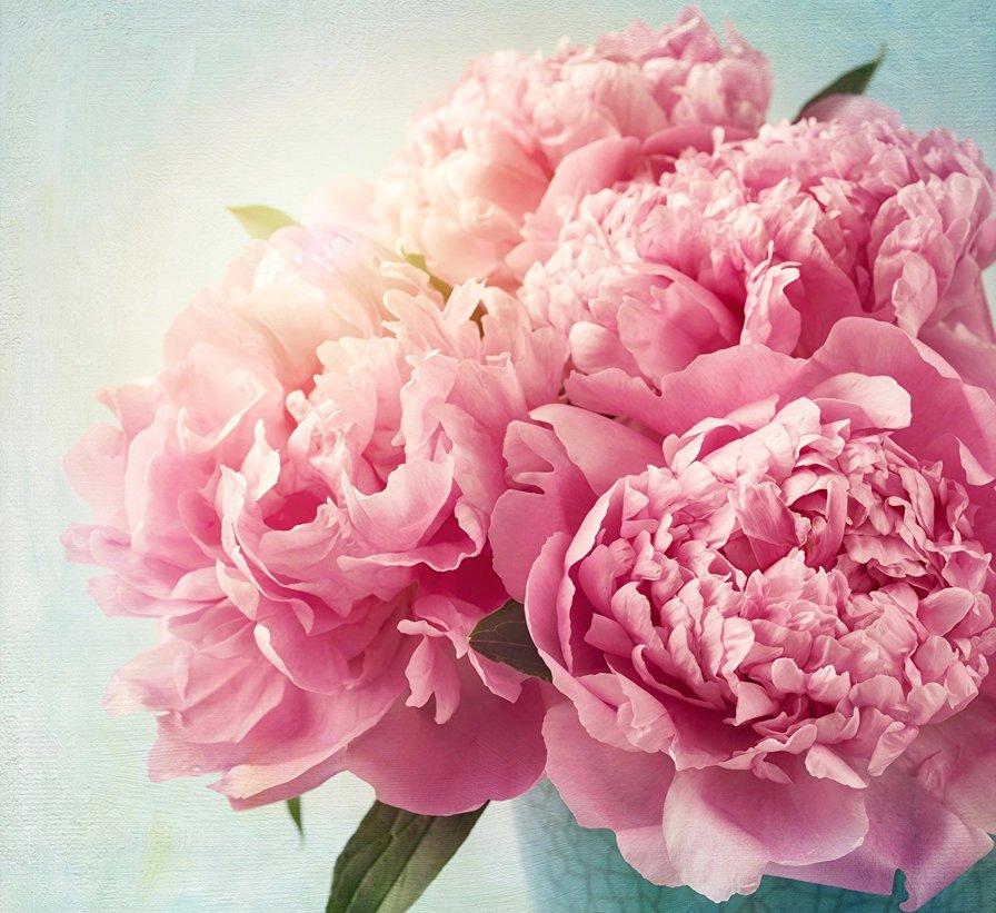 Цветы пионы картинки, картинка