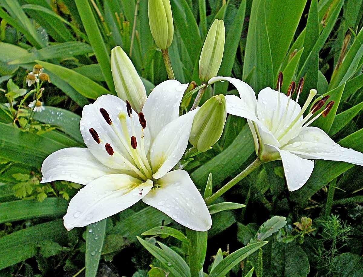 Цветы лилии фото садовые