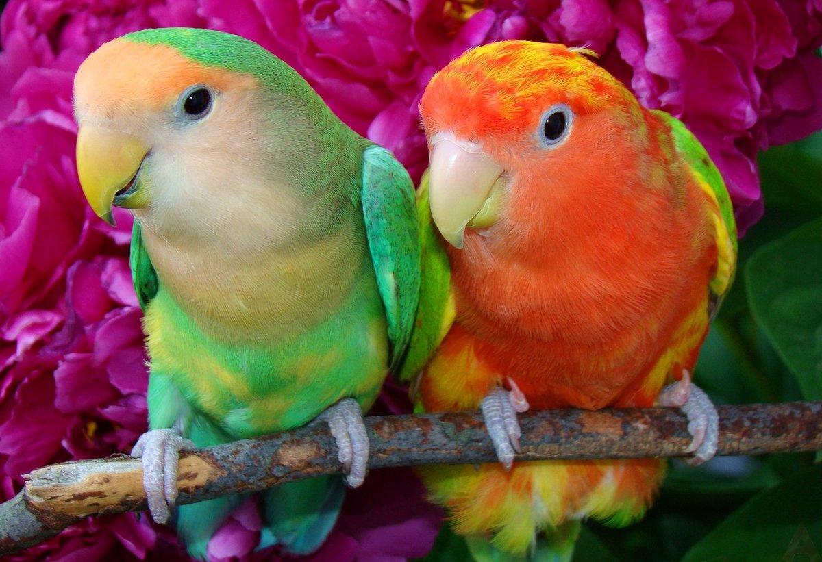 Оранжевые розы, букет зеленый попугай