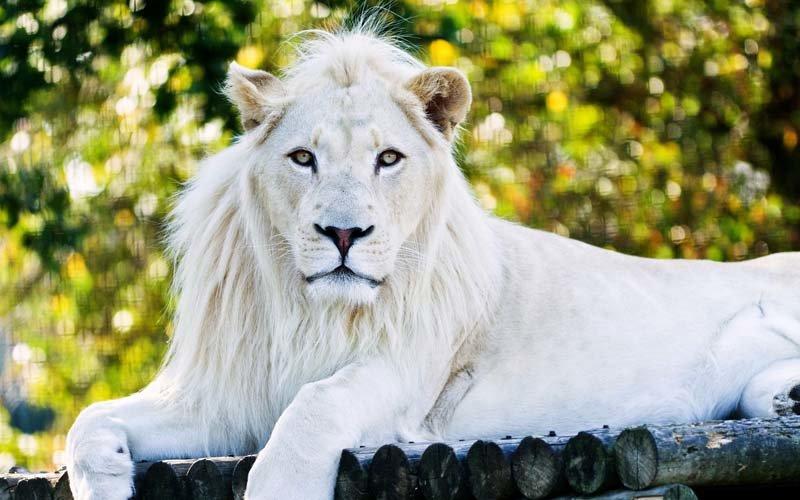 Белые львы - это редкие Ñищники, коÑ'Ð¾Ñ€Ñ‹Ñ Ð² мире насчитывается порядка 300 особей.