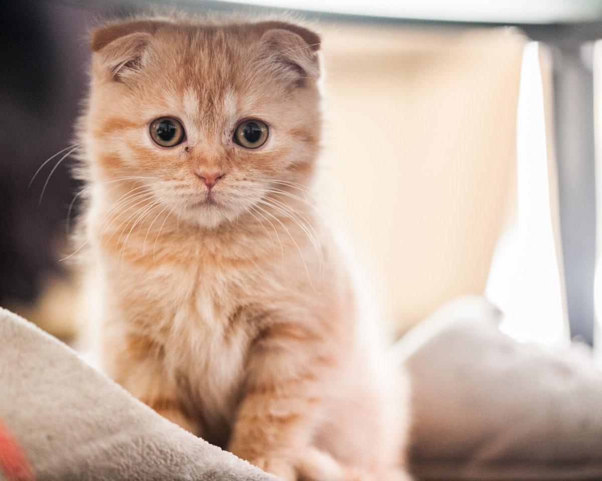 Маленький рыжий шотландский вислоуÑий кот на кровати