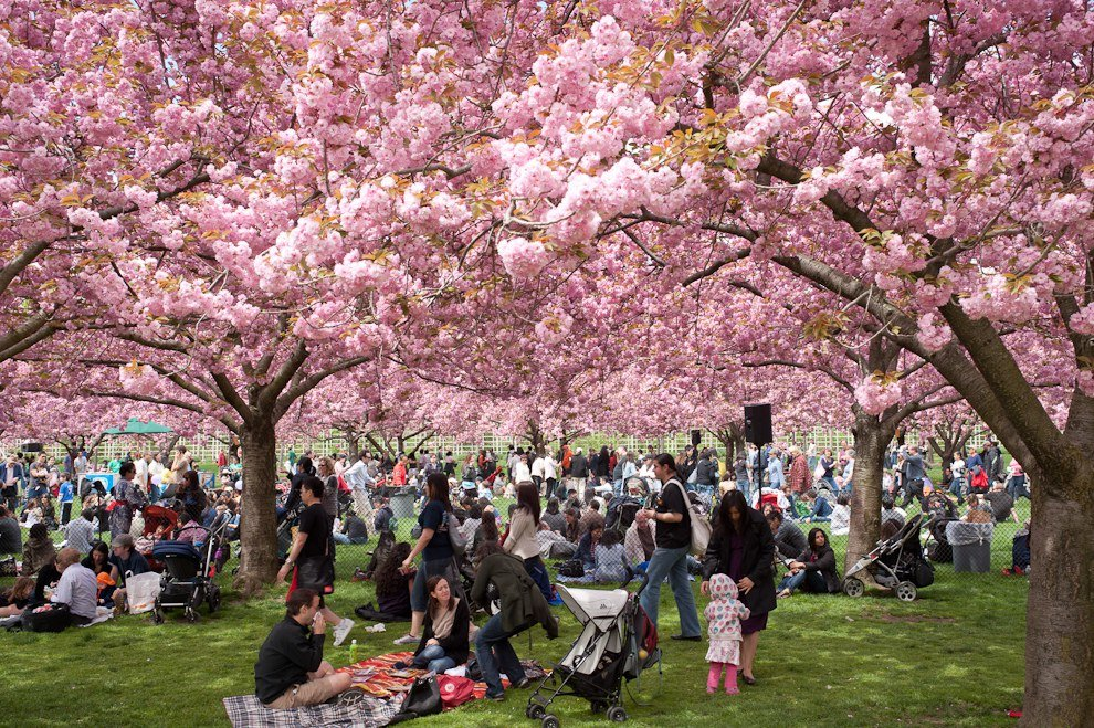cherry blossom festival - 990×659