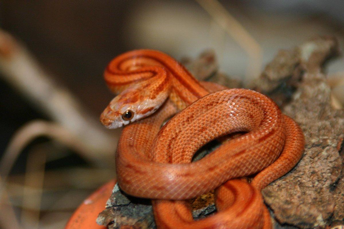 Фото змеи рыже черная