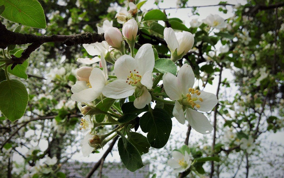 картинки яблоки в цвету и с плодами земли уровне