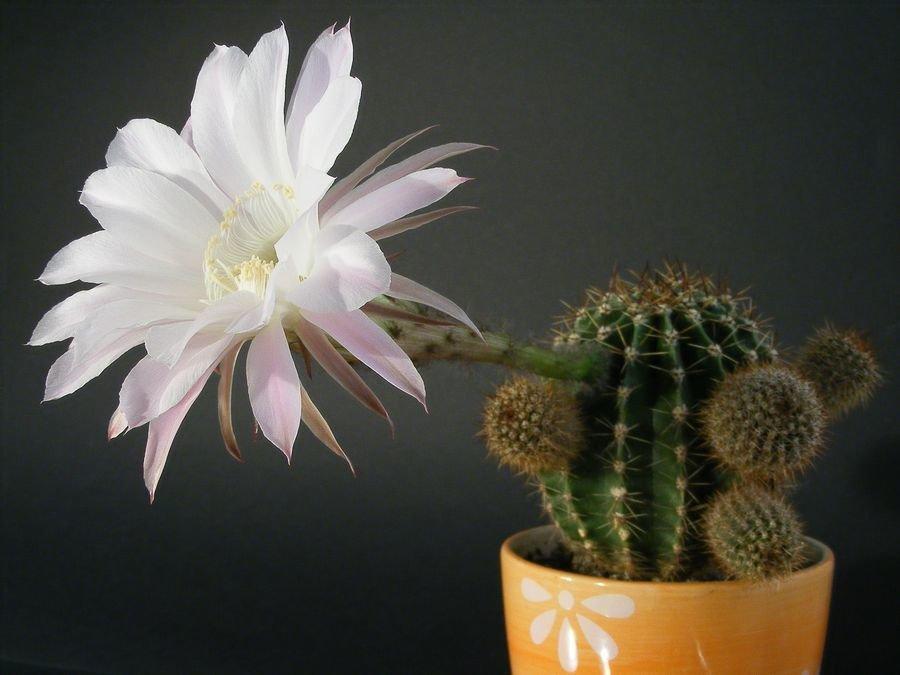 фото цветения кактусов с названиями природа россии