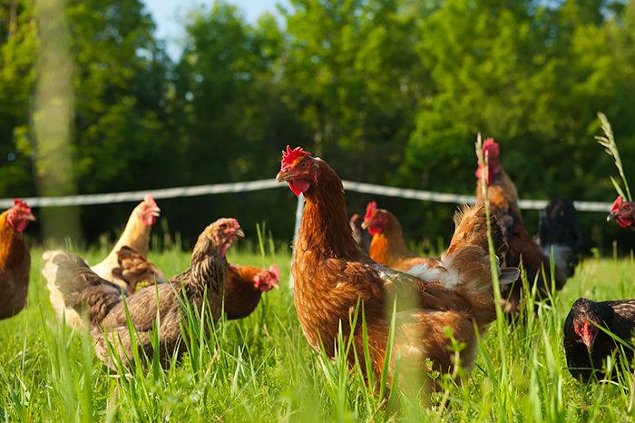 Куры на ферме картинка