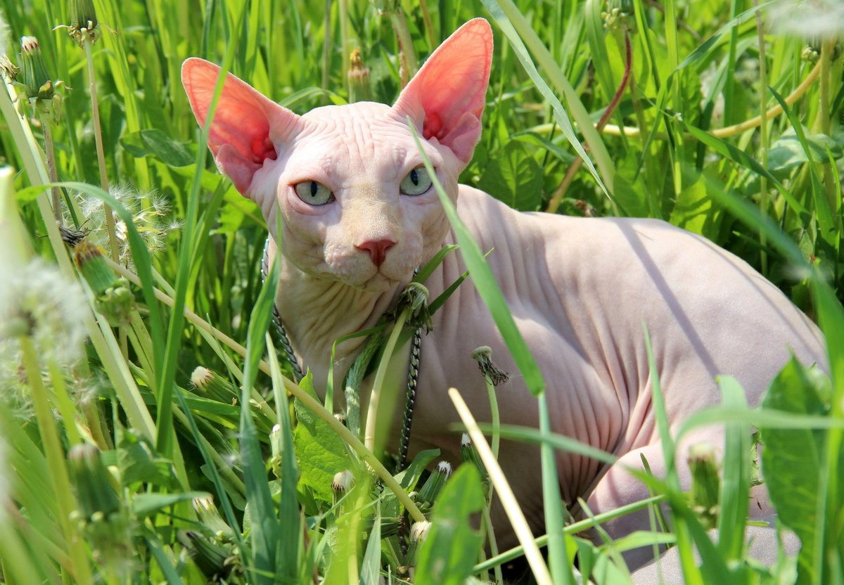 Бесшерстная порода кошек фото