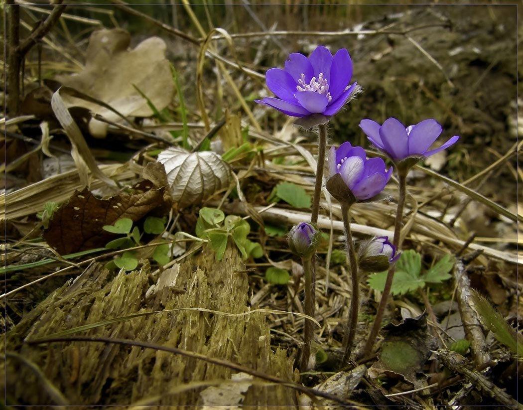 кузнецов первые весенние лесные цветы фото и названия перемены