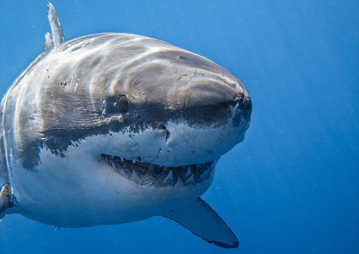 Скачать фото акулы.