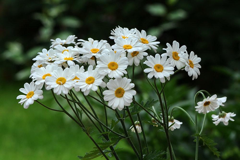 часть фото цветка ромашки дарит девчатам они