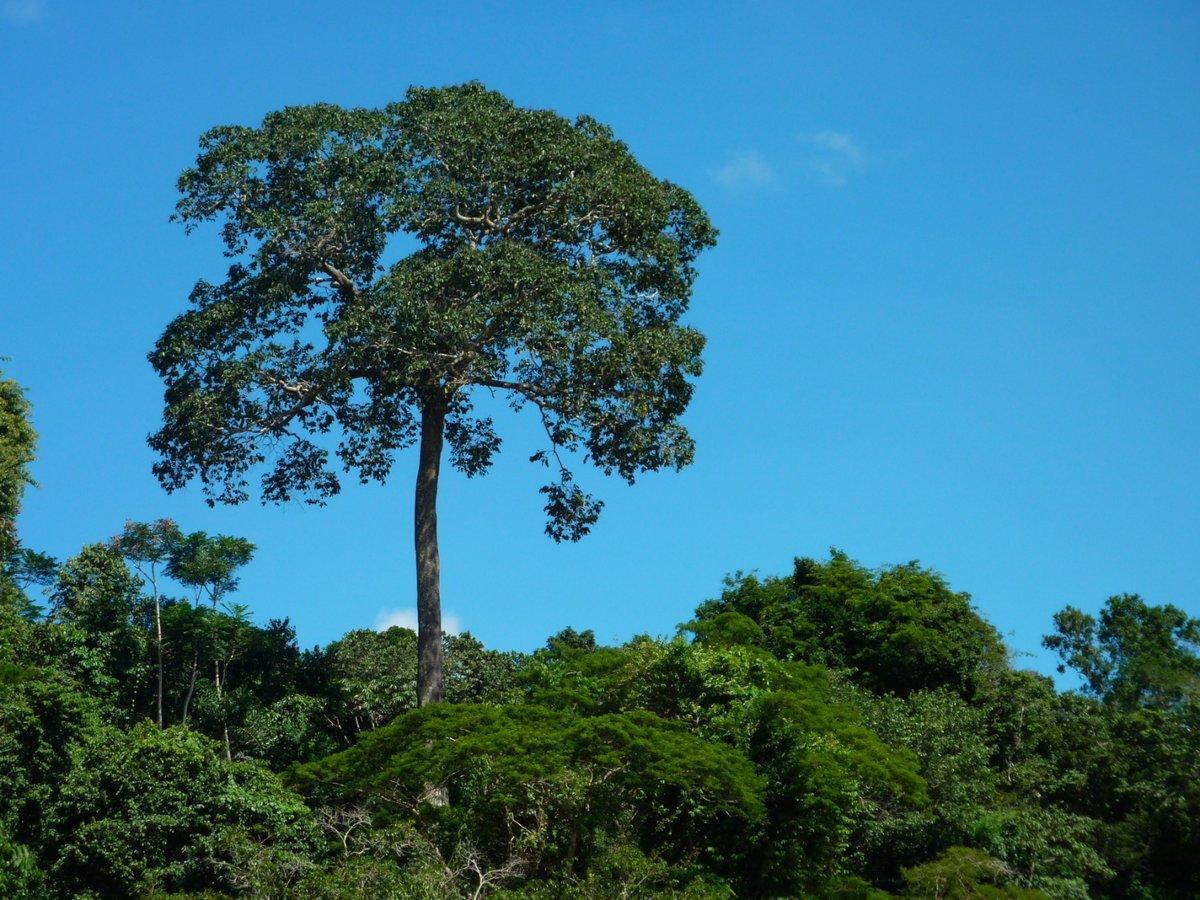 как растет бразильский орех фото рем