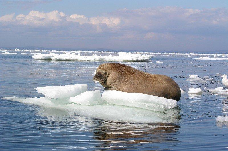 Открытки, картинки тюлень на льдине