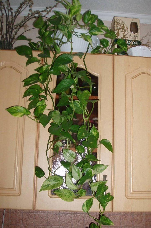 Комнатные растения фото и названия вьющиеся
