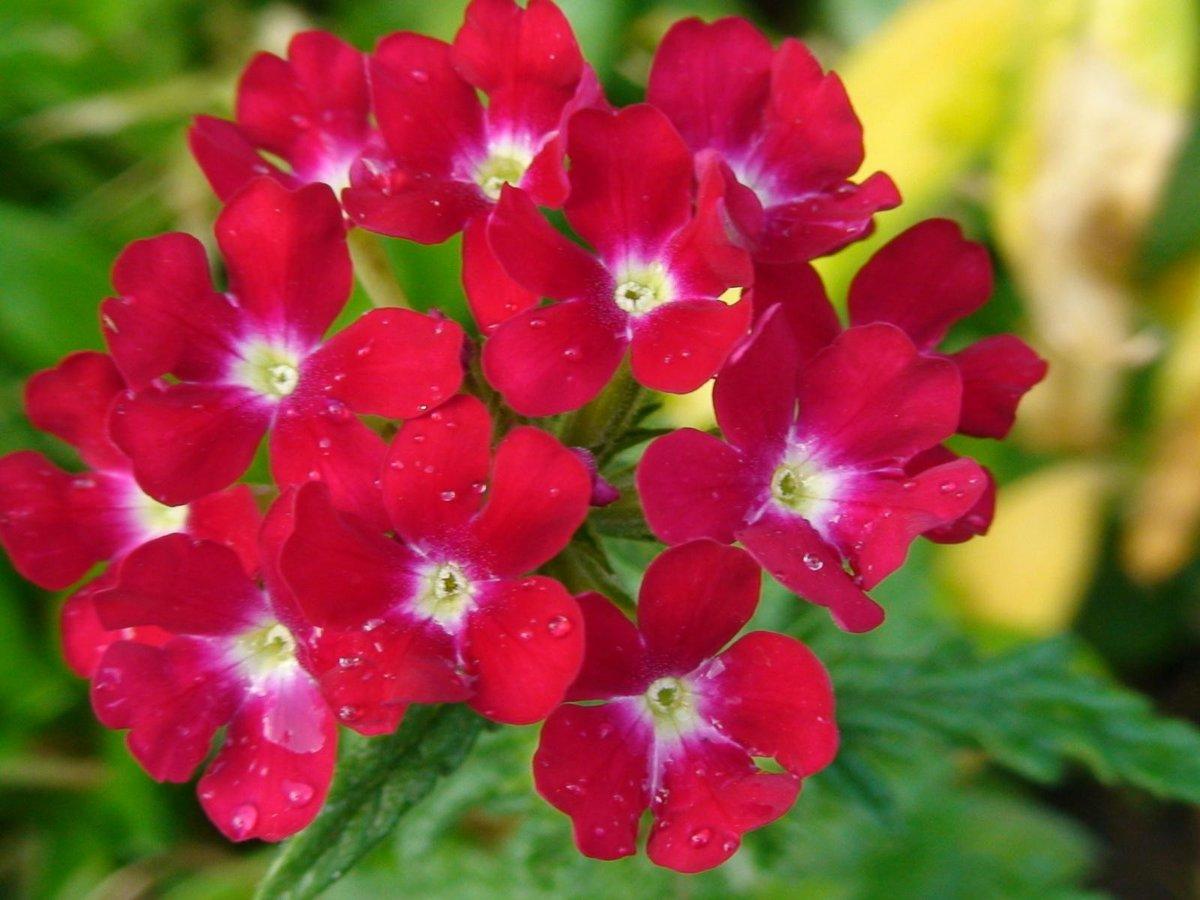 Картинки цветов вербена