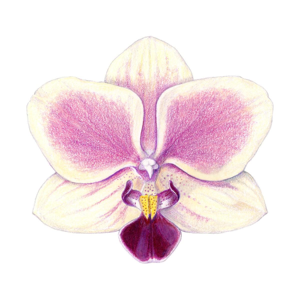 отличие рисунки красивых орхидей большое количество