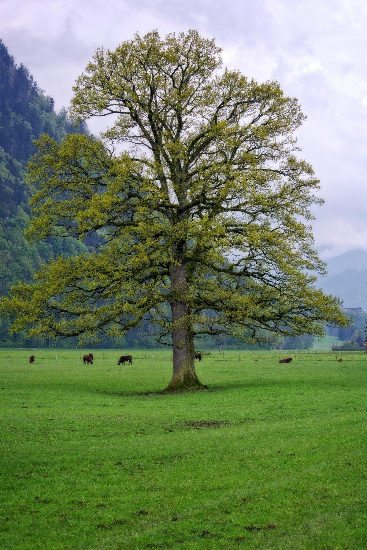 фото дерева типа дуб равно