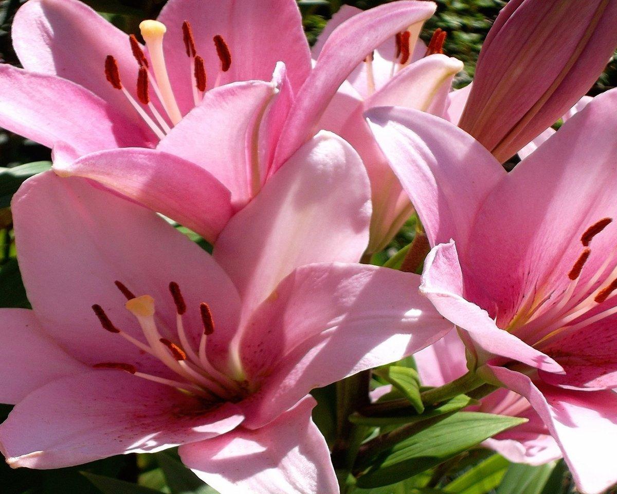 Лилии для лилии картинки красивые