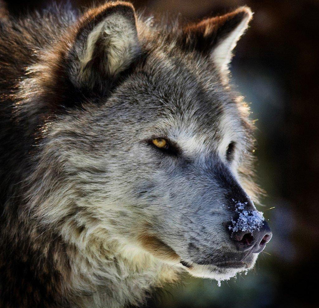 этим фото оскал волка одиночки отдыхали