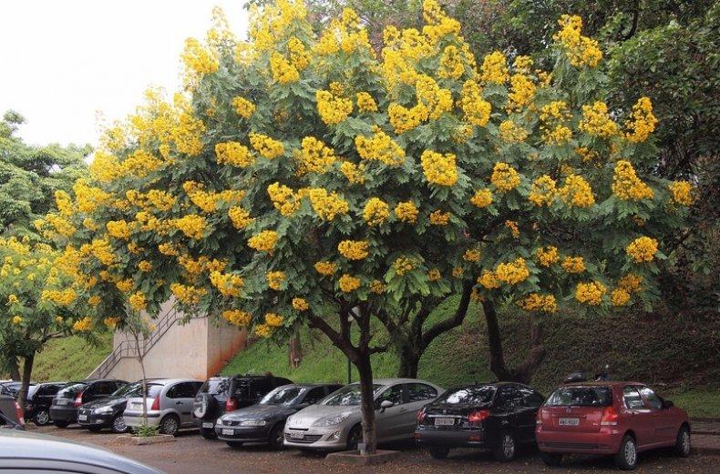 Китайское дерево с желтыми цветами фото