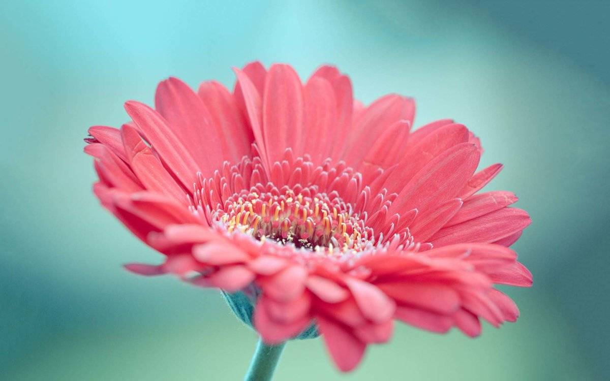 Цветы герберы картинки обои, анимированные