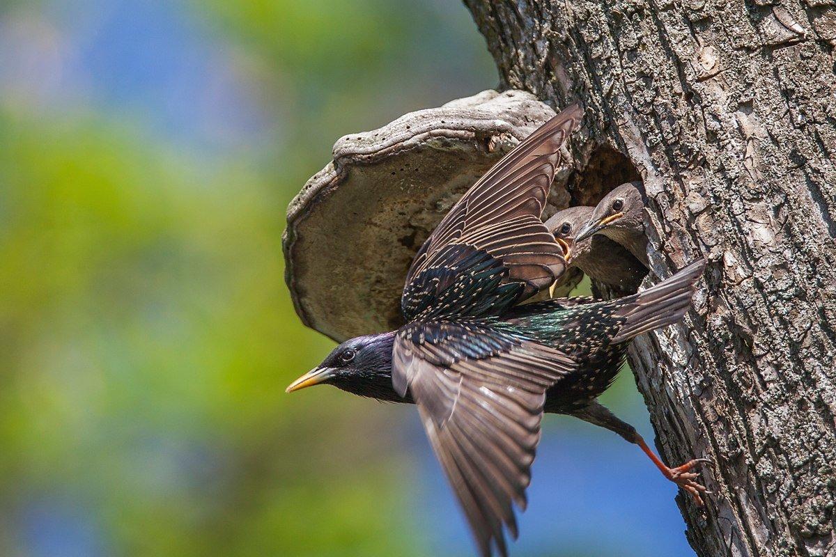 глядя скворец в полете фото птицы тараканы могут