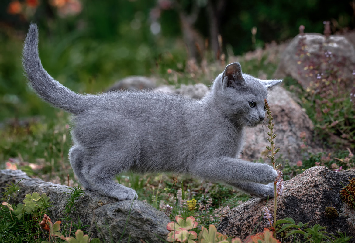 Find Russian Blue breeders Russian Blue cat breeders Russian Blue cats Russian Blue kittens Russian Blue kittens for sale