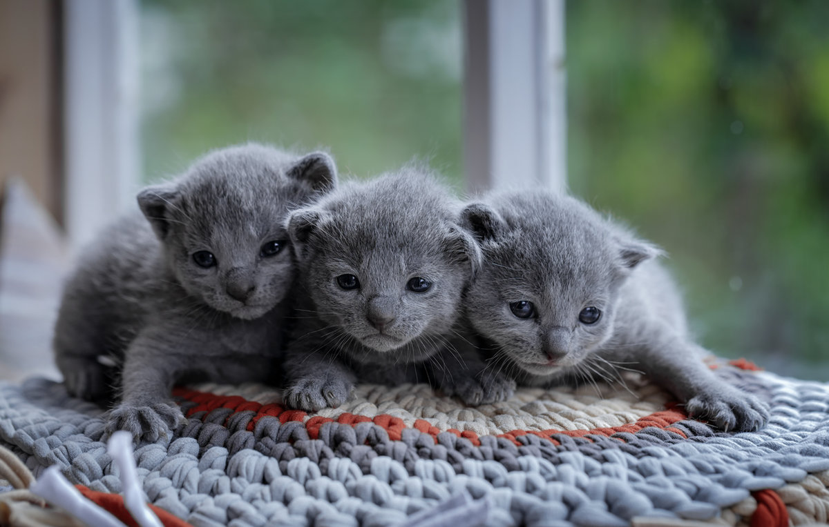 The Russian Blue is a cat breed that comes in colors varying from a light shimmering silver to a darker slate grey They develop close bonds with their owners and