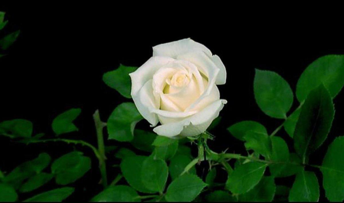 Гифка распускающаяся роза, открытки