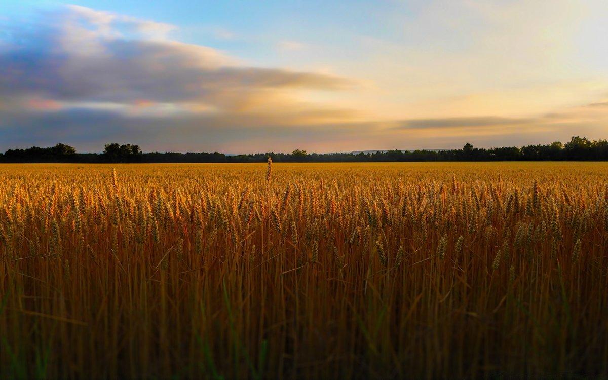 Картинка поле пшеницы вдалеке деревенька