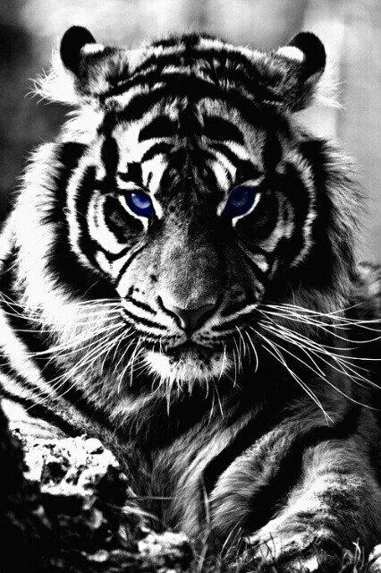 ВдоÑновляющая картинка животное, чёрно-белое, круто, мило