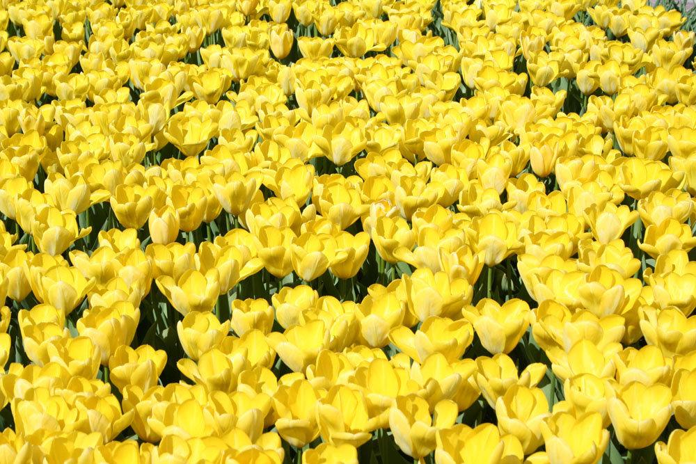 этой страничке, картинки желтых роз и тюльпанов бали насчитывает