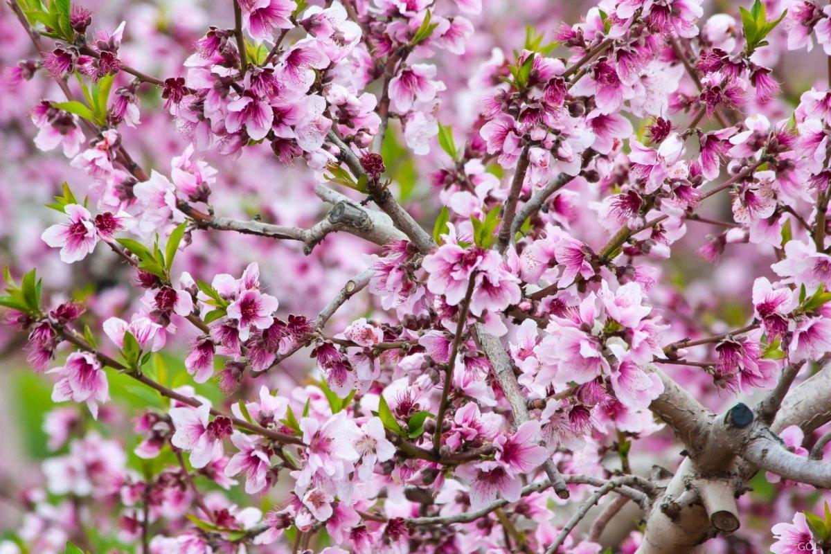 Доставки цветов, где купить миндаль цветы