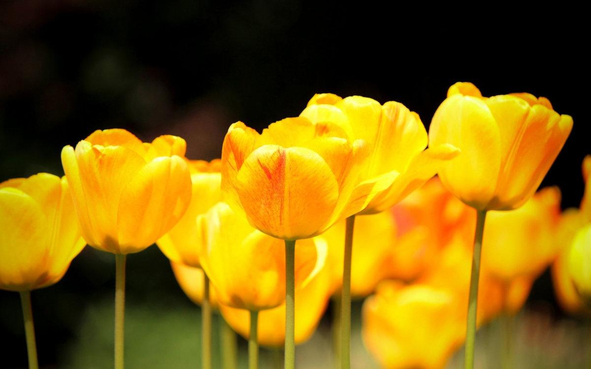 скинали визуально фотообои желтые тюльпаны посетителй доступен