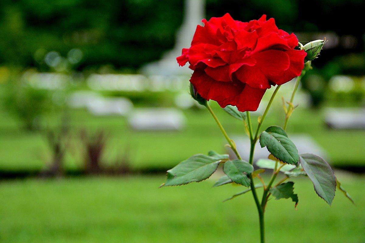 Смешные картинки роза