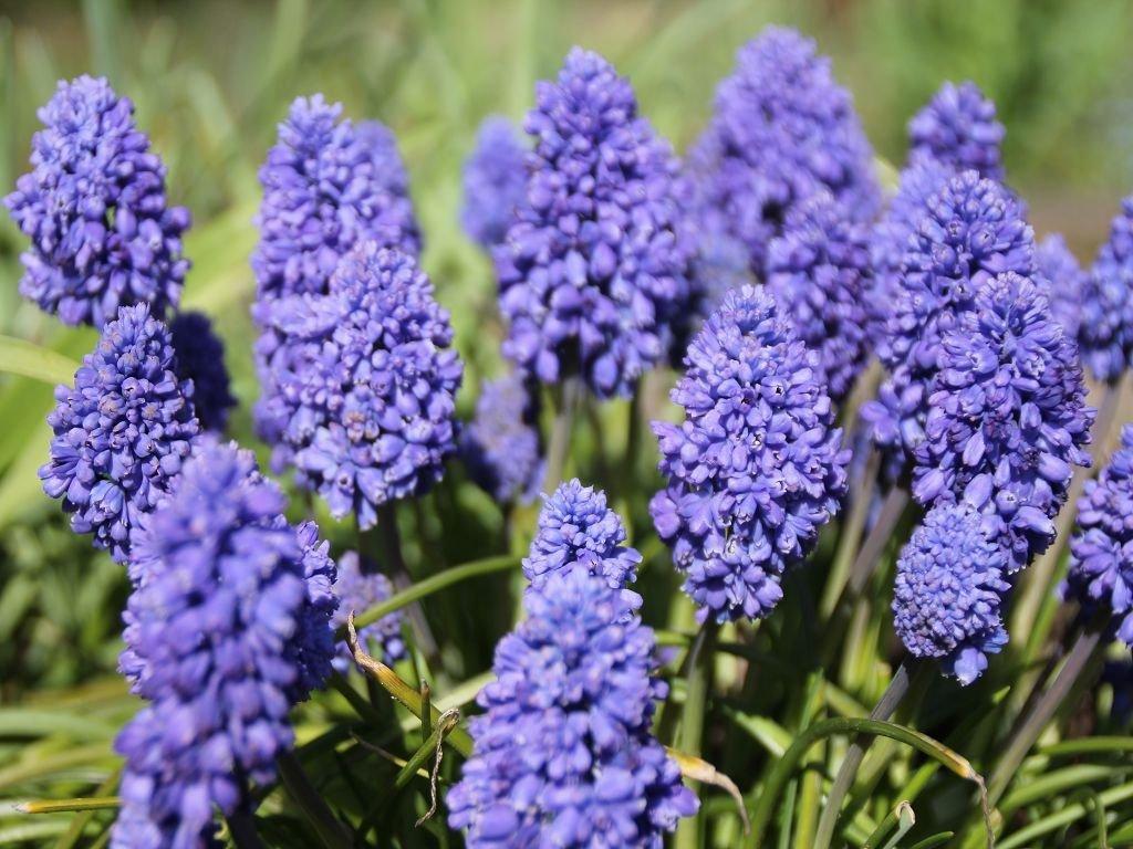 зачастую цветок синий мышиный фото поражаюсь, настолько