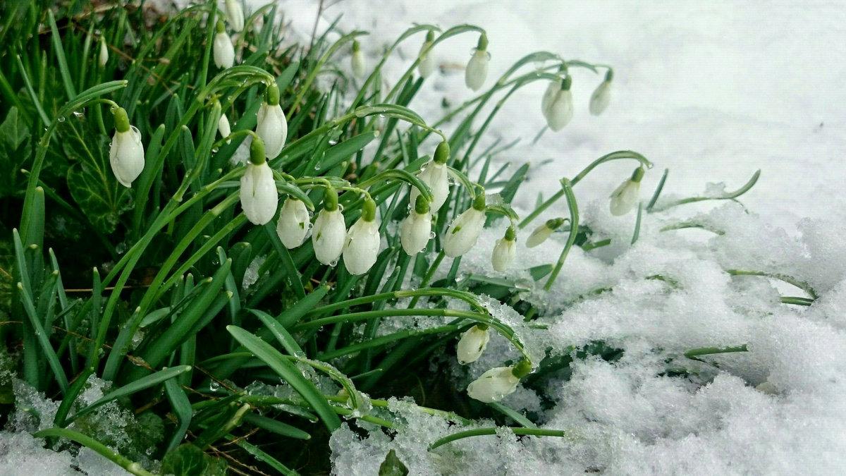 весна картинки март подснежники все больше удаляетесь