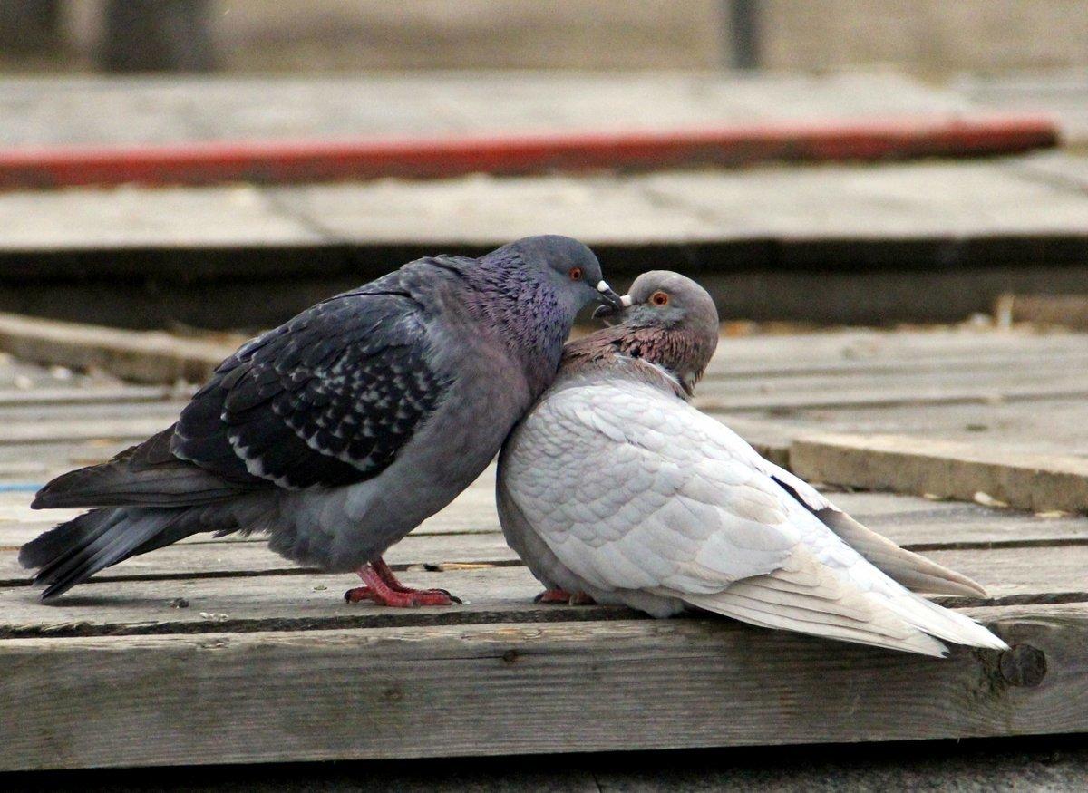 фото поцелуя птички вам