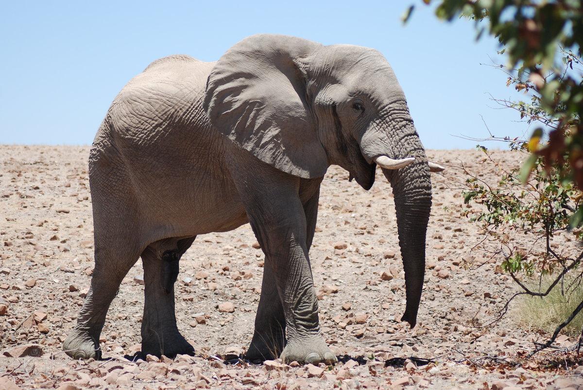 Малый африканский слон