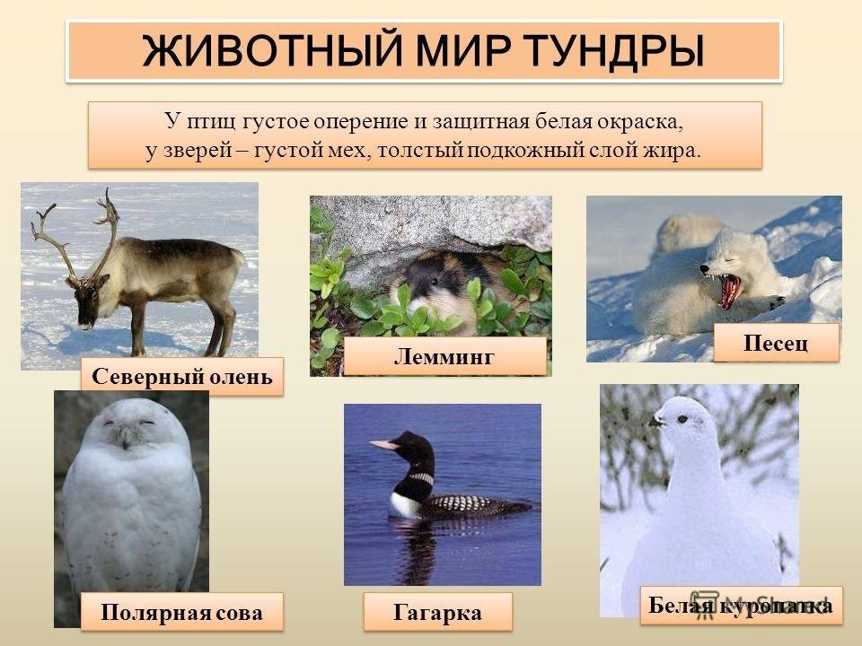 наша все о животных тундры с картинками ворота железные петель