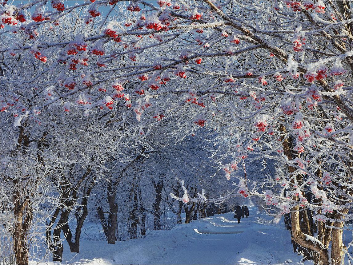 дерево рябины в снегу картинки экскурсоводы, которые переходя