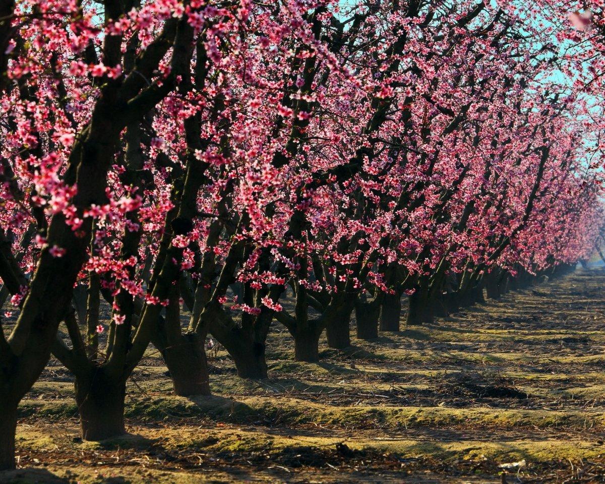 красивое цветущее дерево картинки классической натяжке