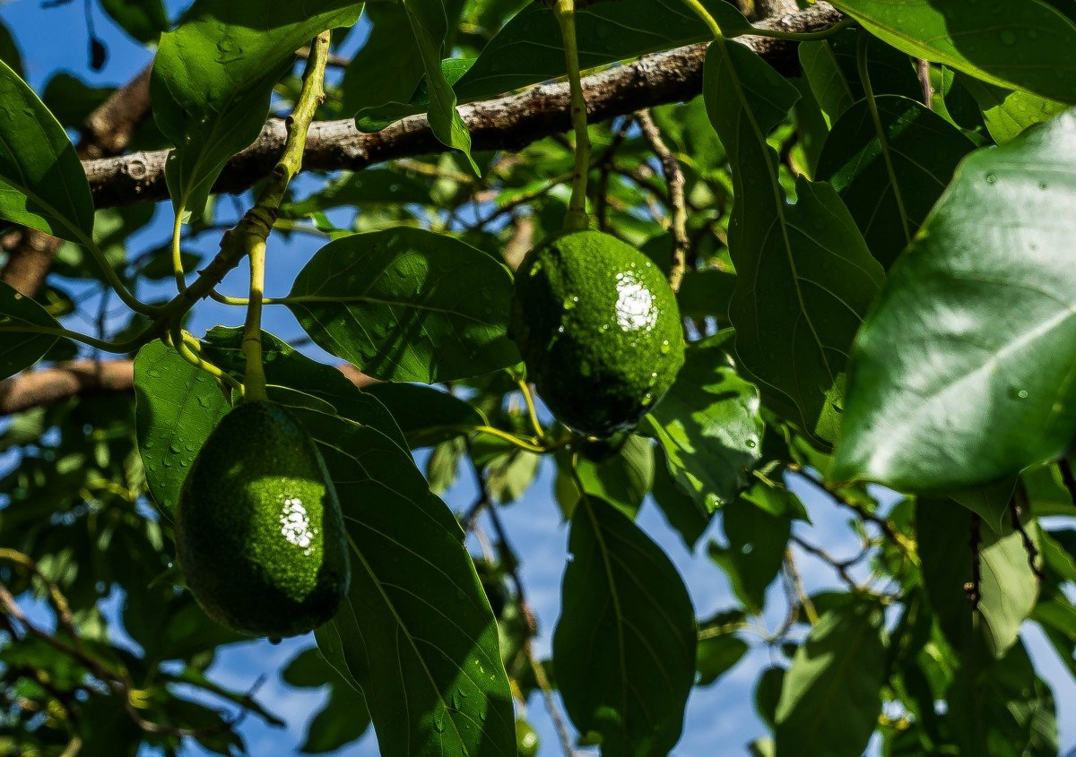 Как растет авокадо дерево фото