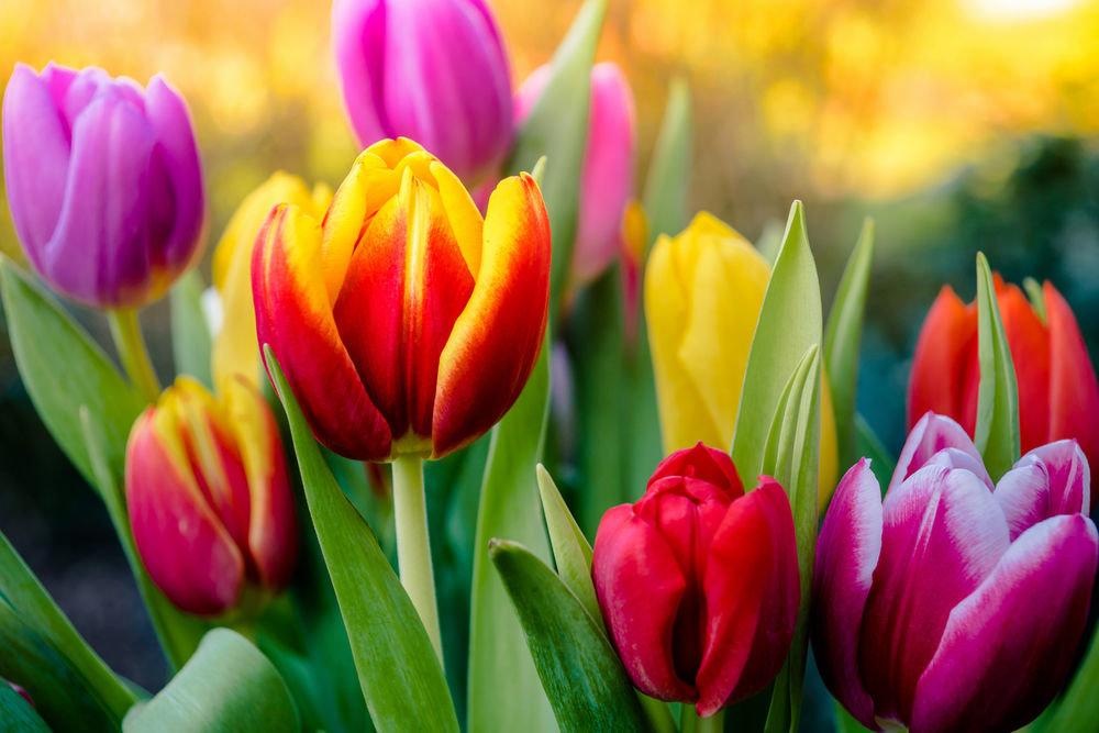 могильной красивые фото тюльпанов большие мизинец